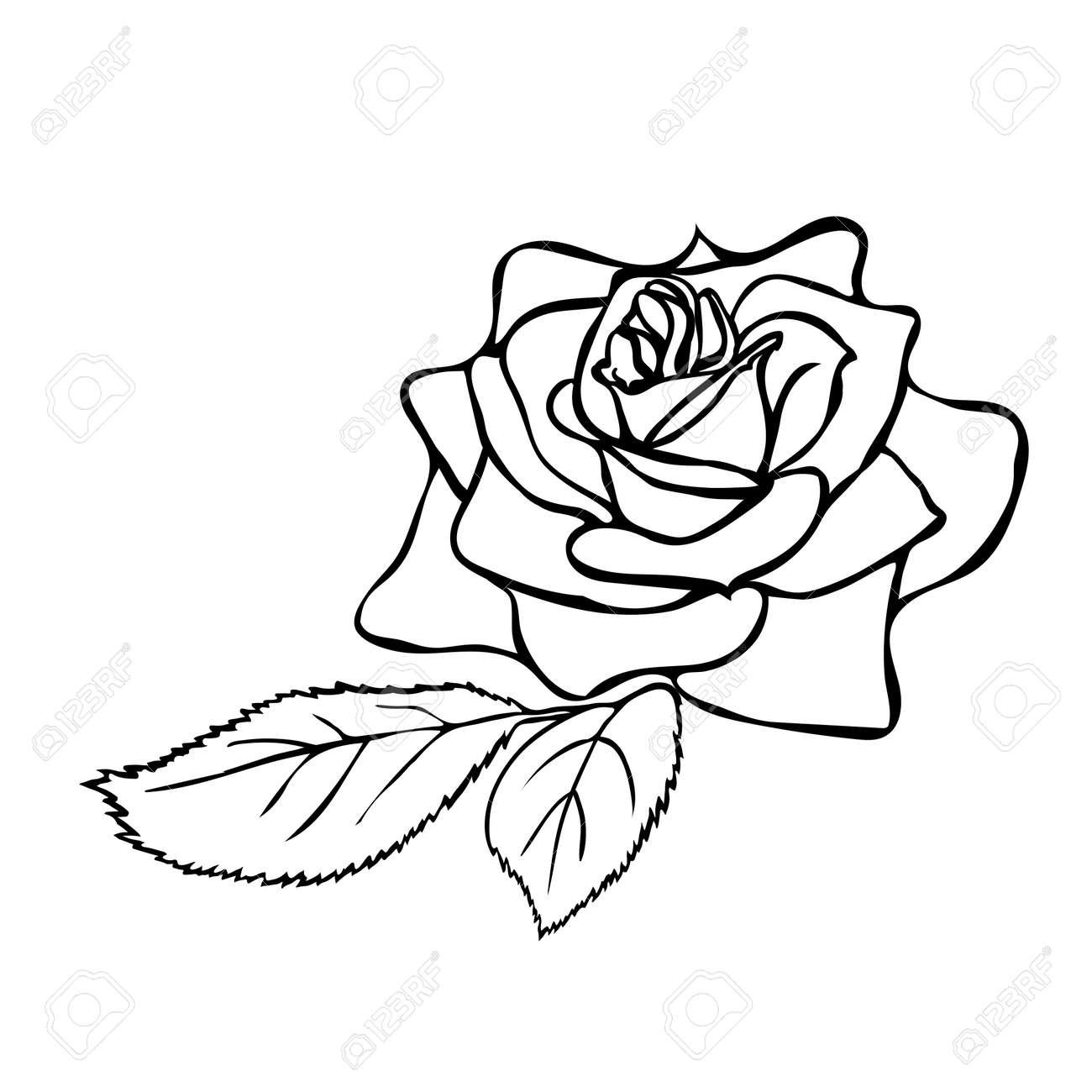 Rose sketch. Black outline on white background. Vector illustration. - 38623821