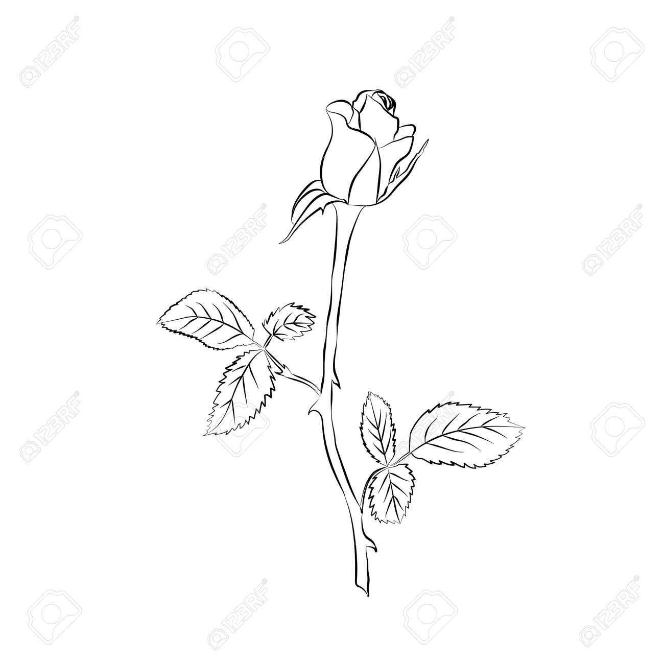 Rose sketch. Black outline on white background. Vector illustration. - 41072538