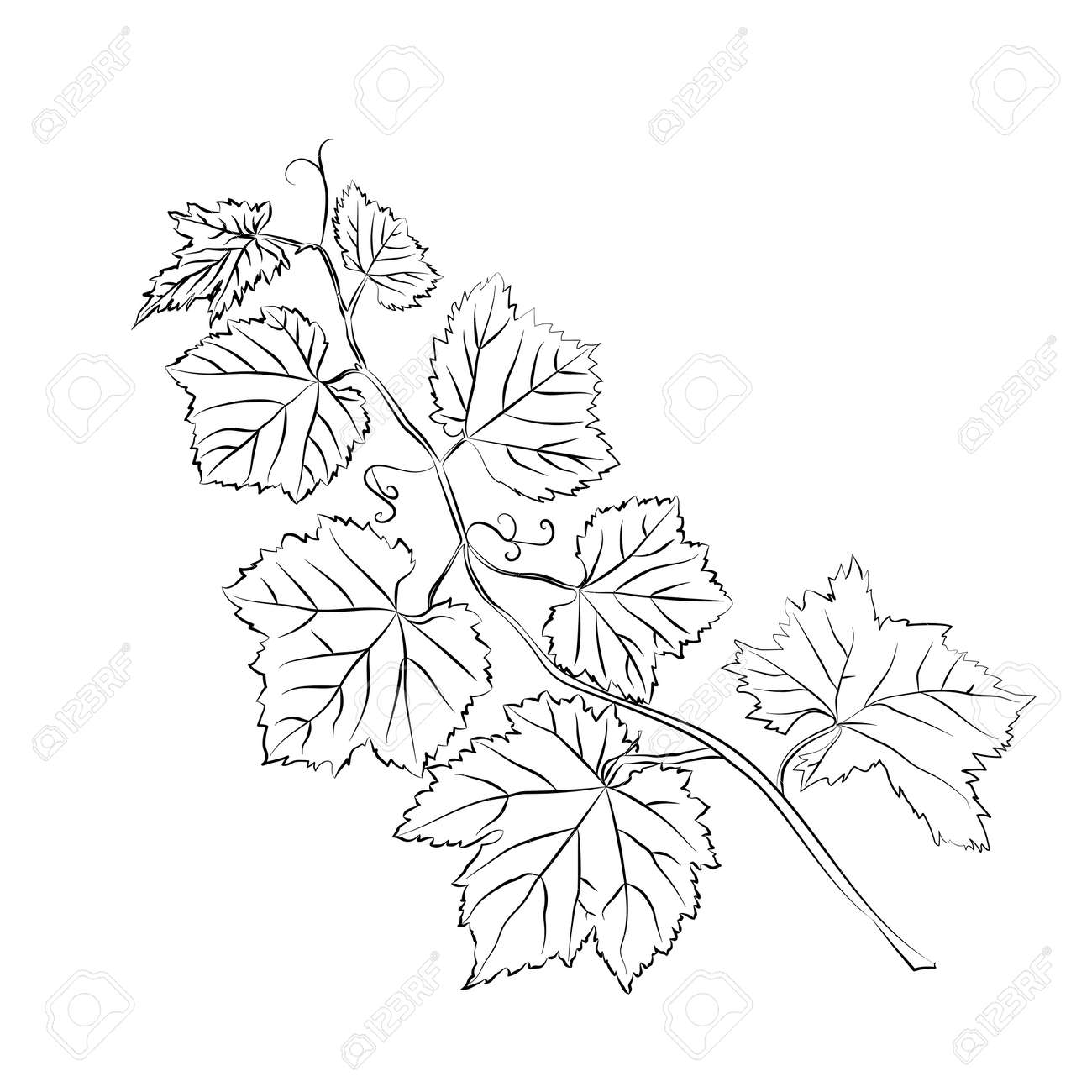 Grape Leaves Baroque Plants Black Outline On White Background Royalty Free Cliparts Vectors And Stock Illustration Image 42084228