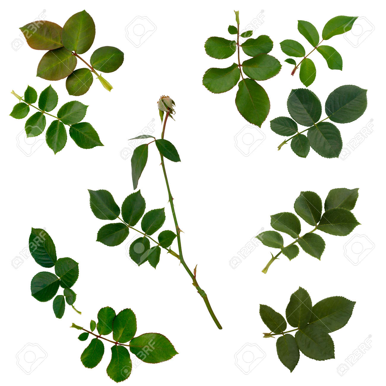 rose leaf stock photos royalty free rose leaf images and pictures