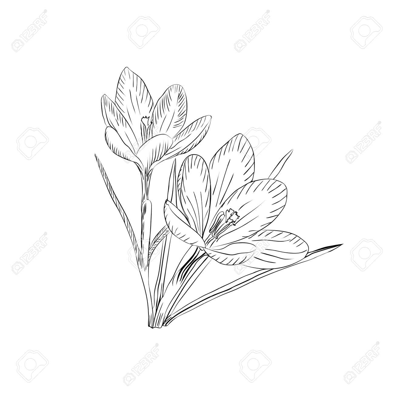 Hand drawn crocus flowers. Elegant vintage card. Vector illustration. - 46641784