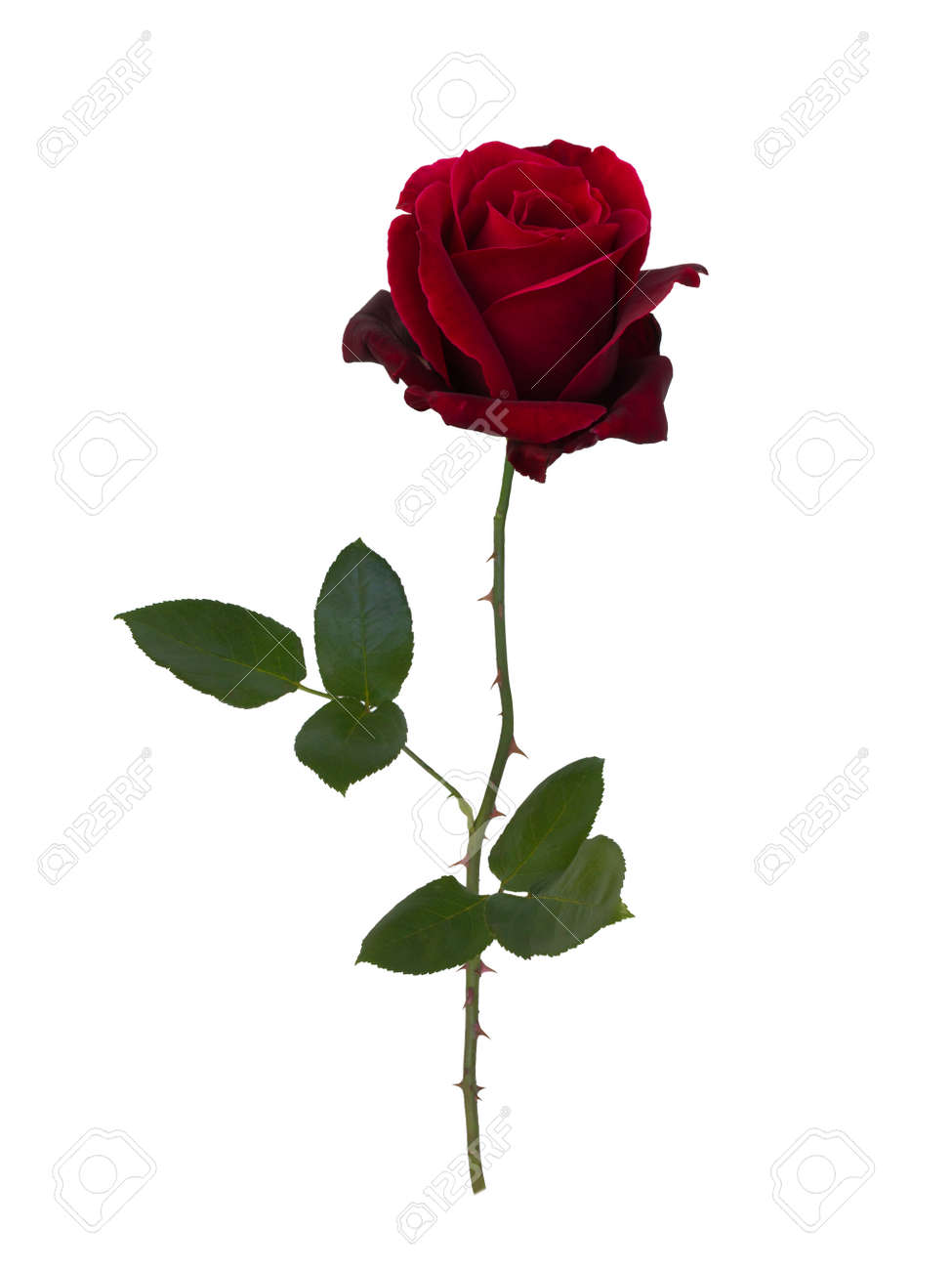 Dark red rose isolated on white background - 47912866