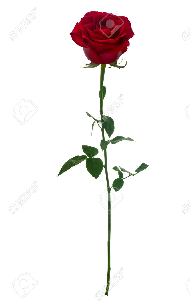 Dark red rose isolated on white background - 51642254