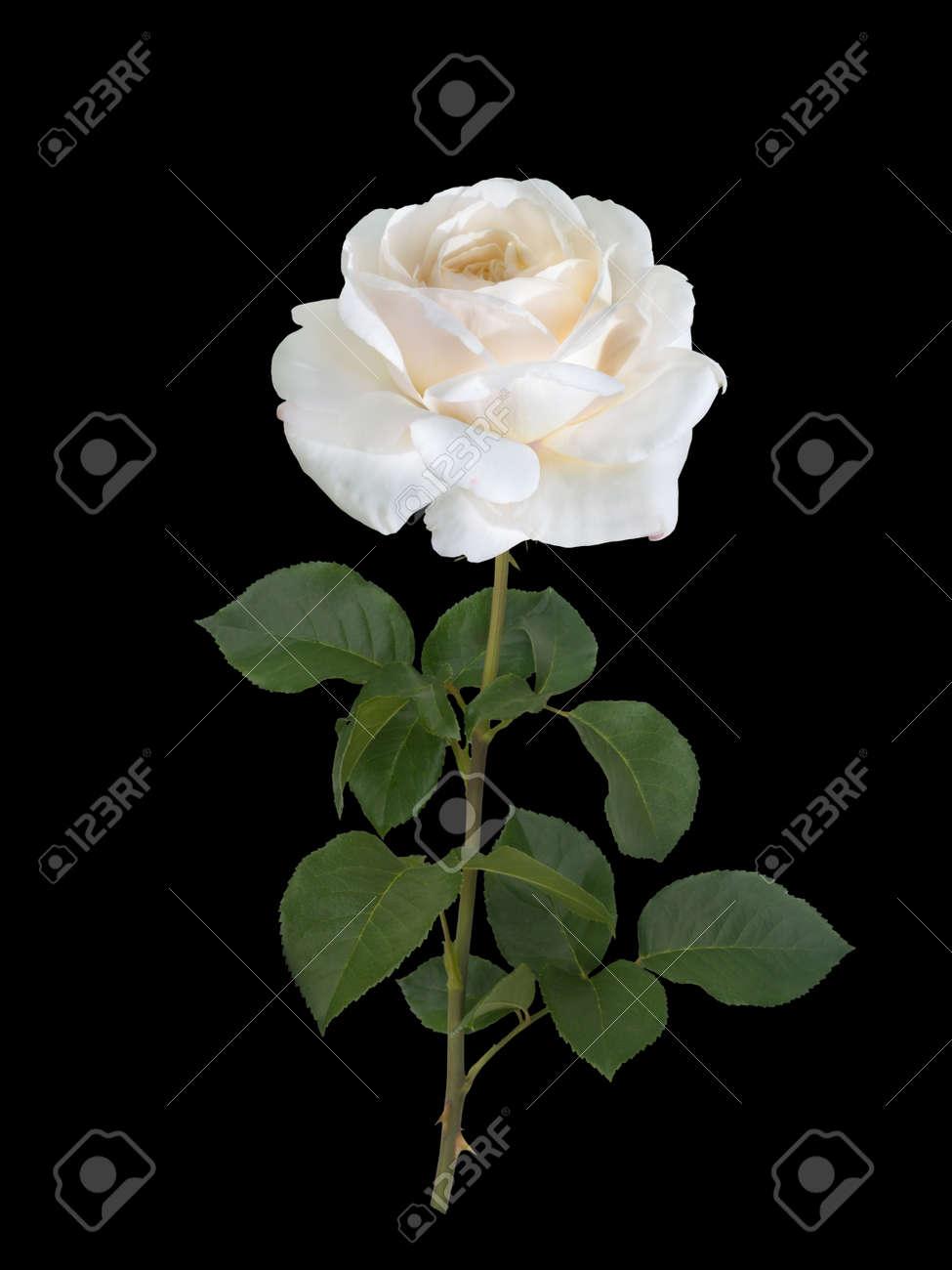 Immagini Stock Rosa Bianca Isolato Su Uno Sfondo Nero Image 66417346