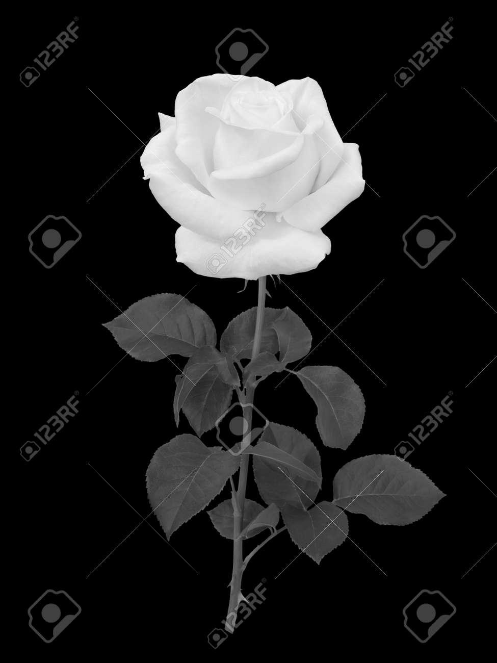Una Rosa Blanca Sobre Fondo Negro Ejemplo Monocromático Fotos