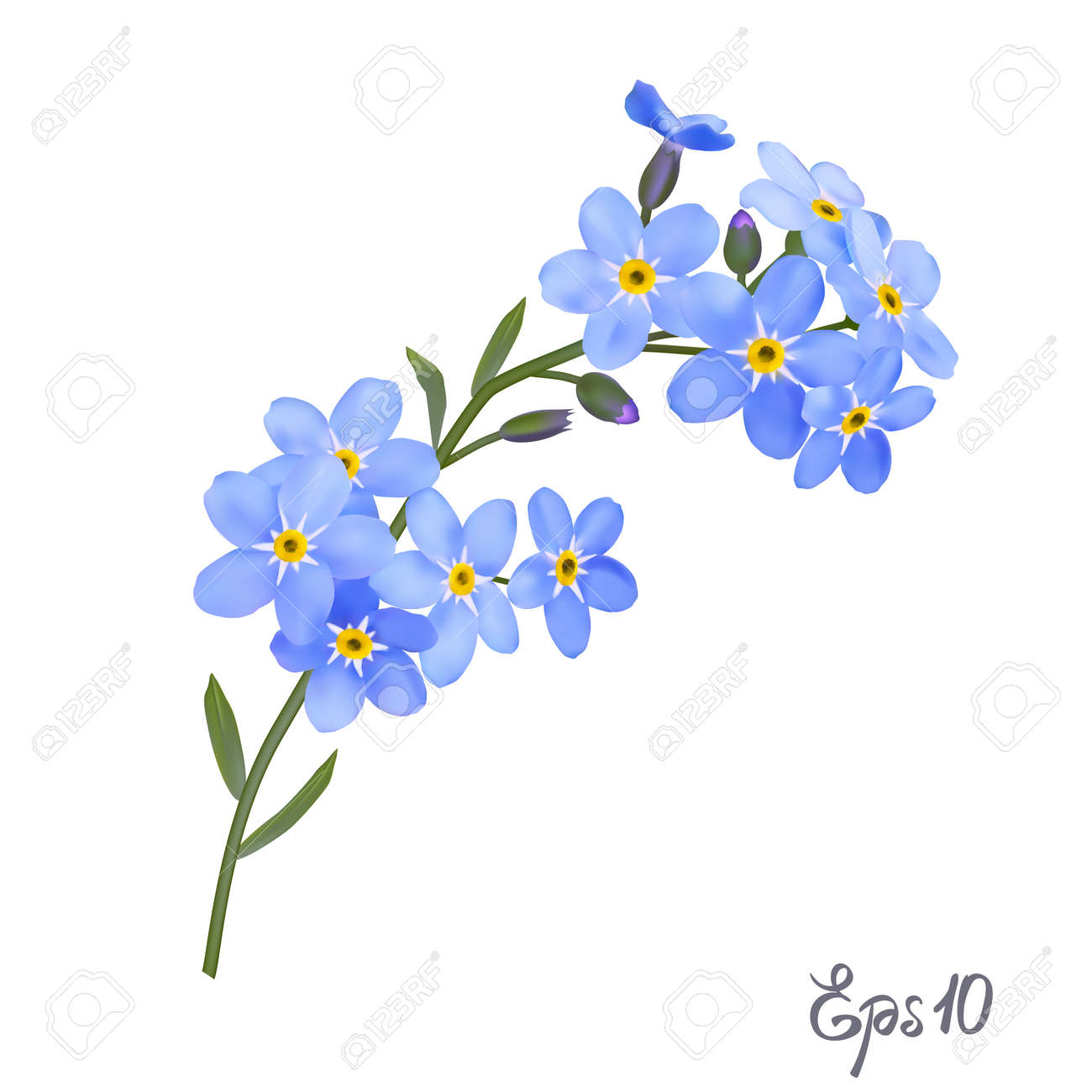 Branch Of Blue Forget Me Not Flowers Isolated On White Background