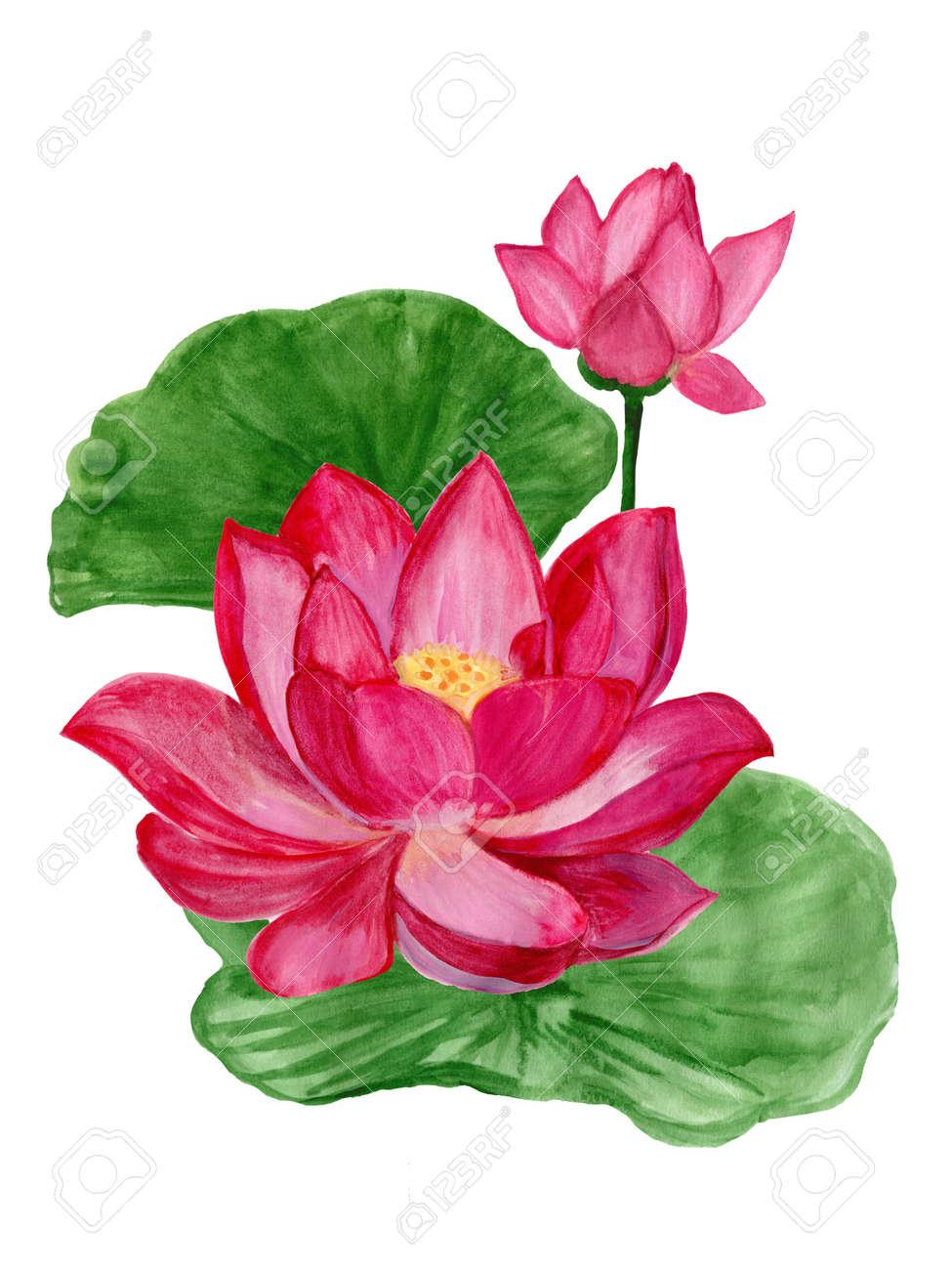 Hand Drawn Watercolor Botanical Illustration Of Lotus Flower Stock