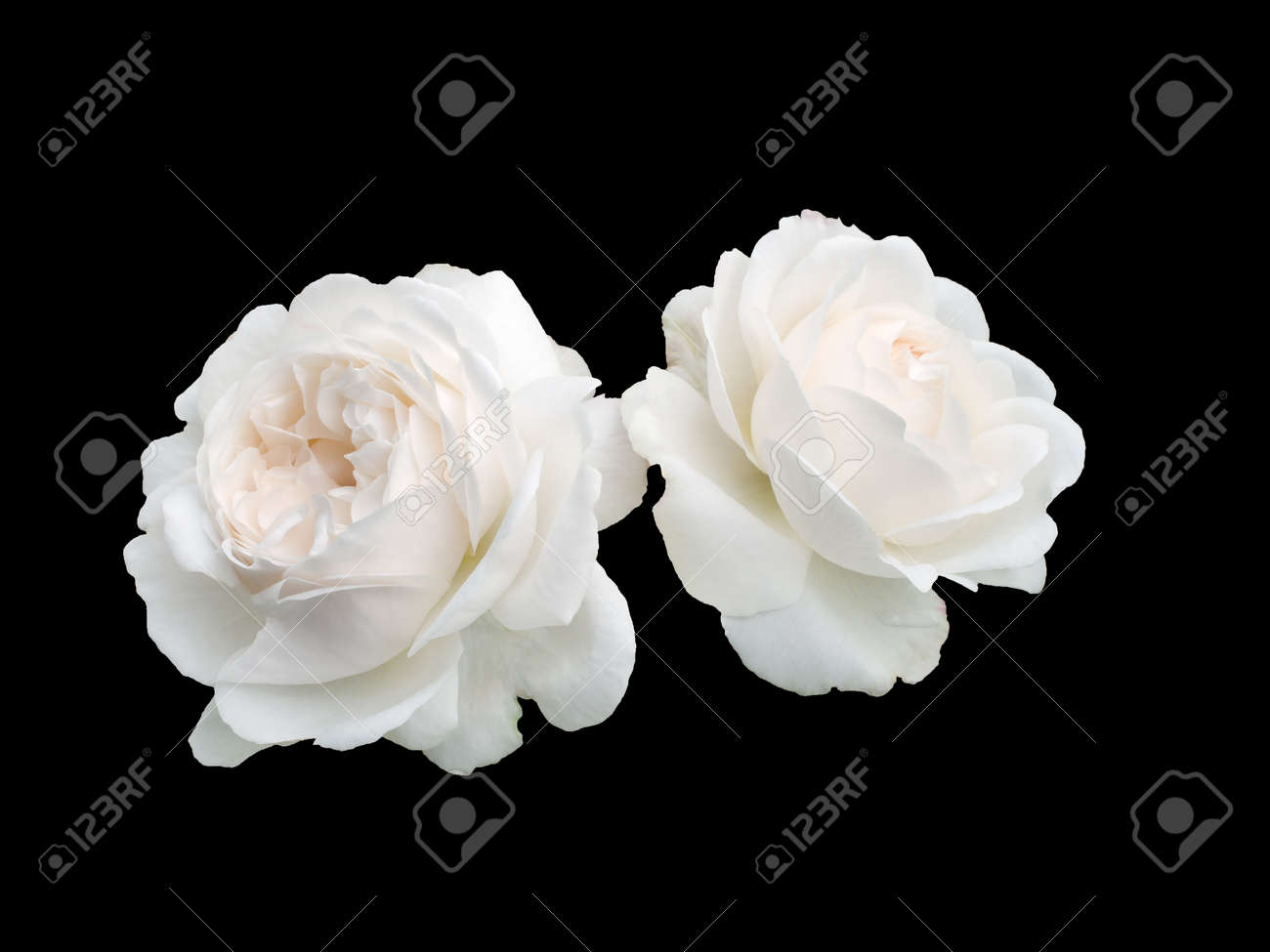 44a261fb4 Two White Roses Isolated On A Black Background Stock Photo, Picture ...