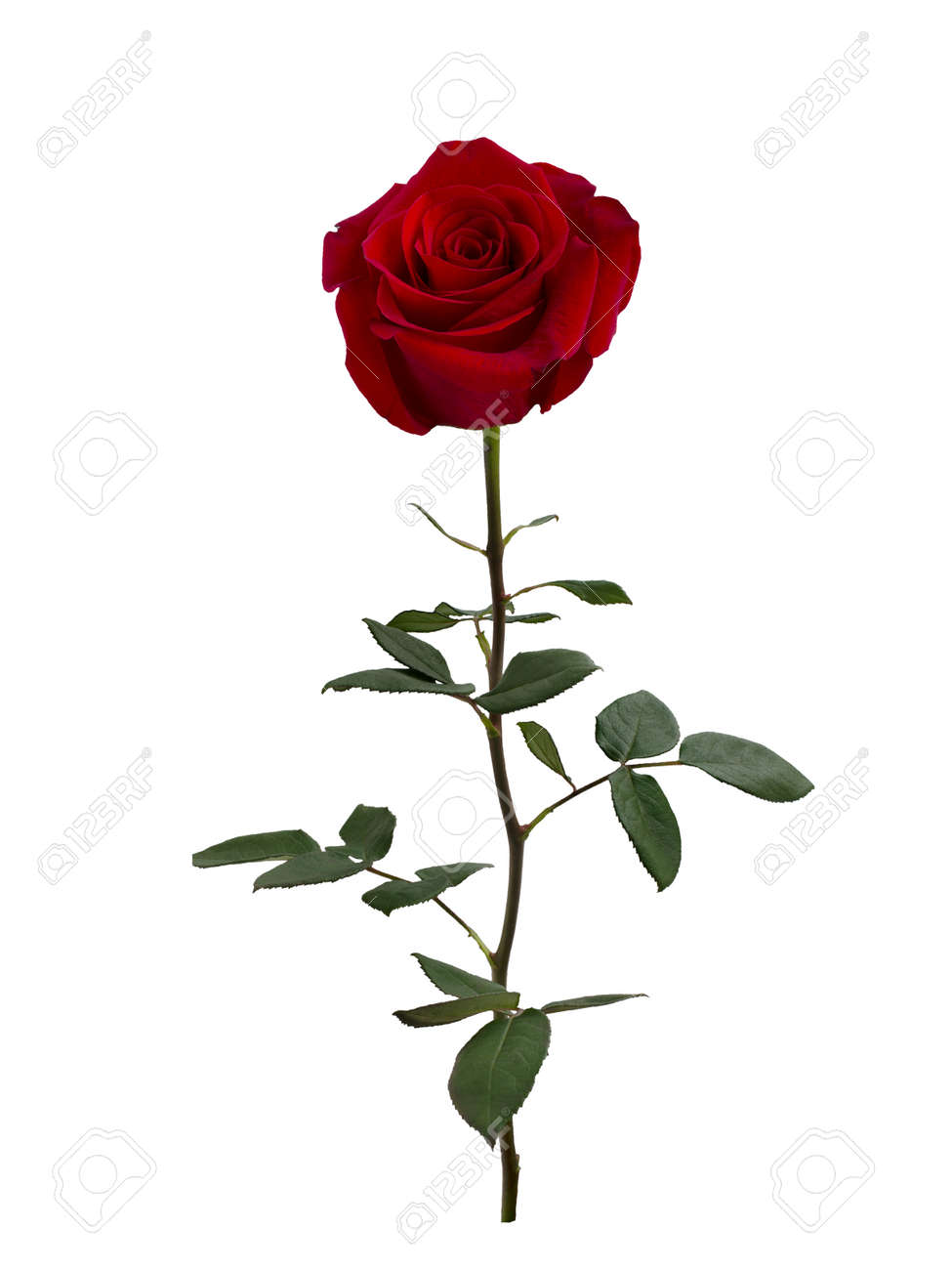 Dark red rose with green leaves - 140347846