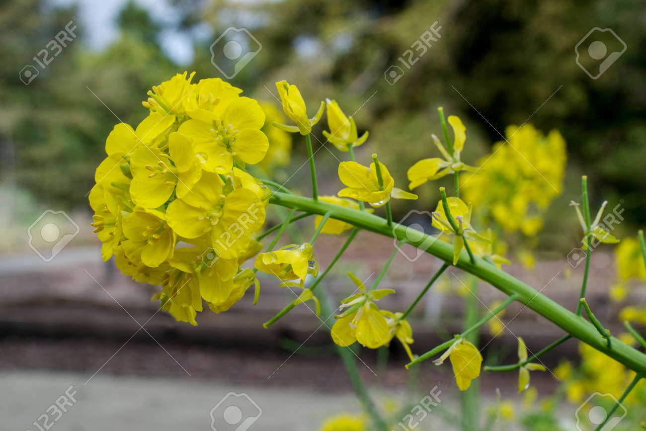 Yellow flowers of the invasive mustard plant in california brassica stock photo yellow flowers of the invasive mustard plant in california brassica sp in nature mightylinksfo