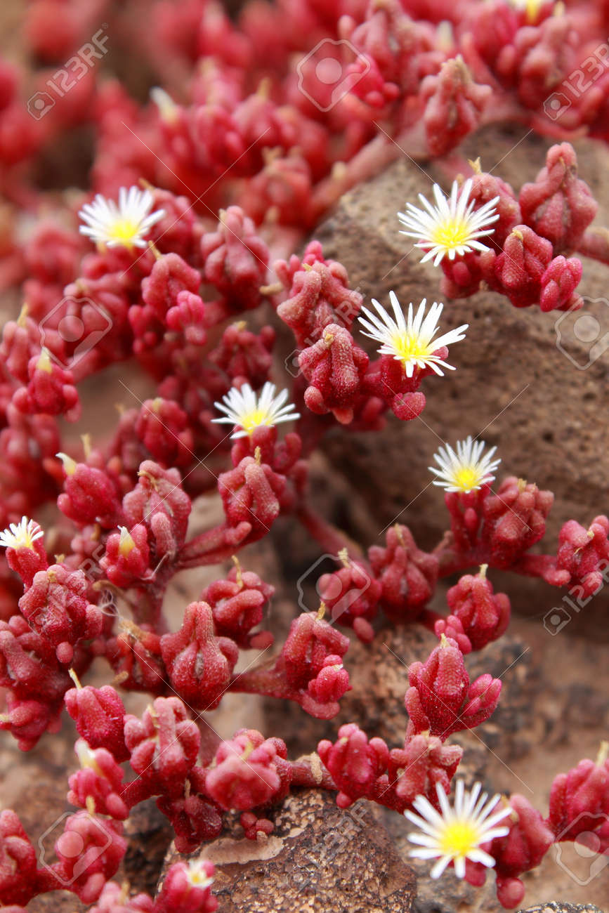 red succulents growing on a rocky surface in lanzarote spain stock
