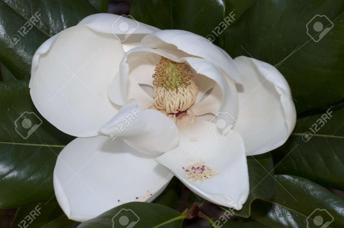 Flower Of The Magnolia Grandiflora The Southern Magnolia Or Stock