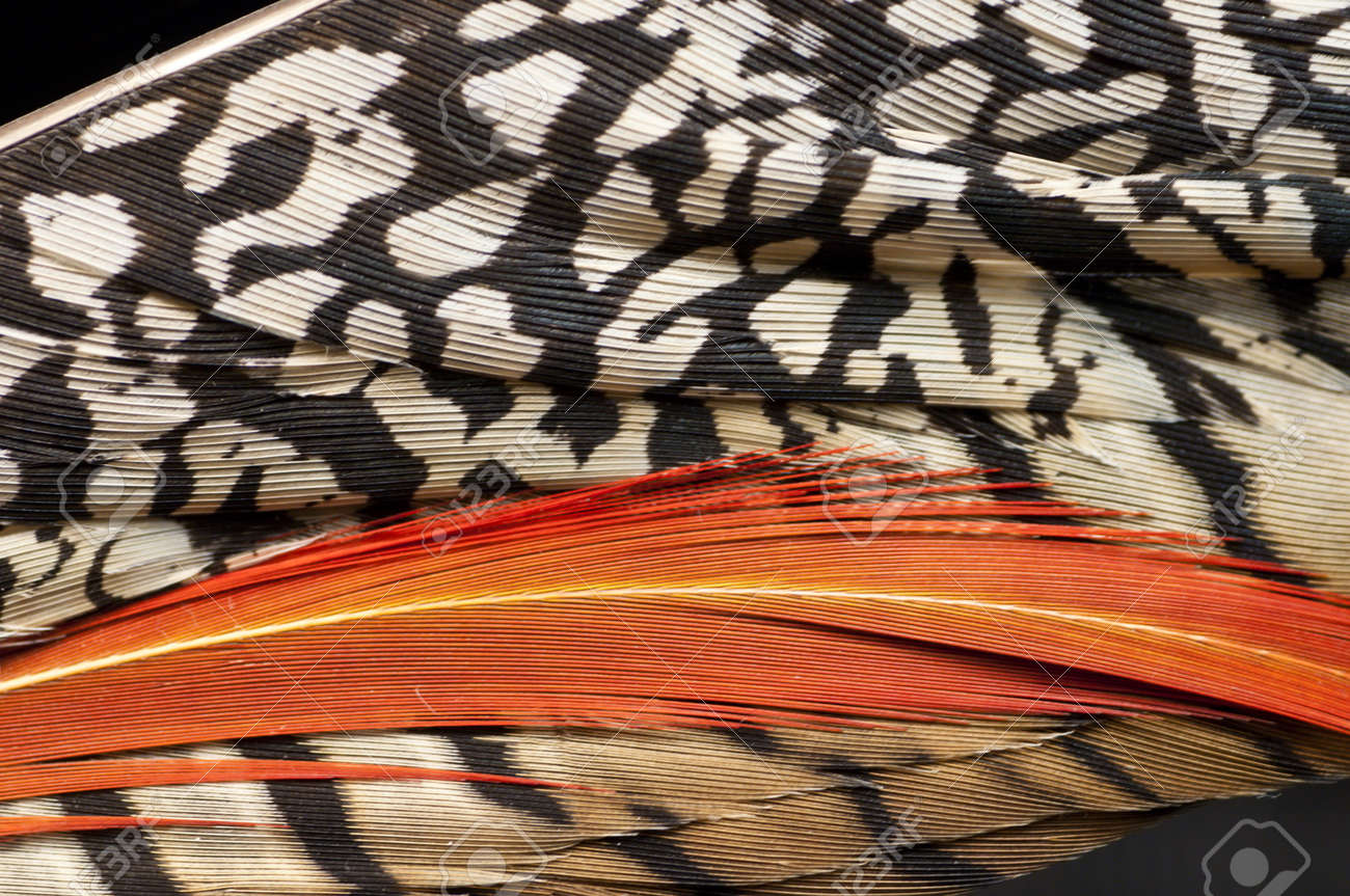 Detail of feathers of a pheasant Stock Photo - 18396558