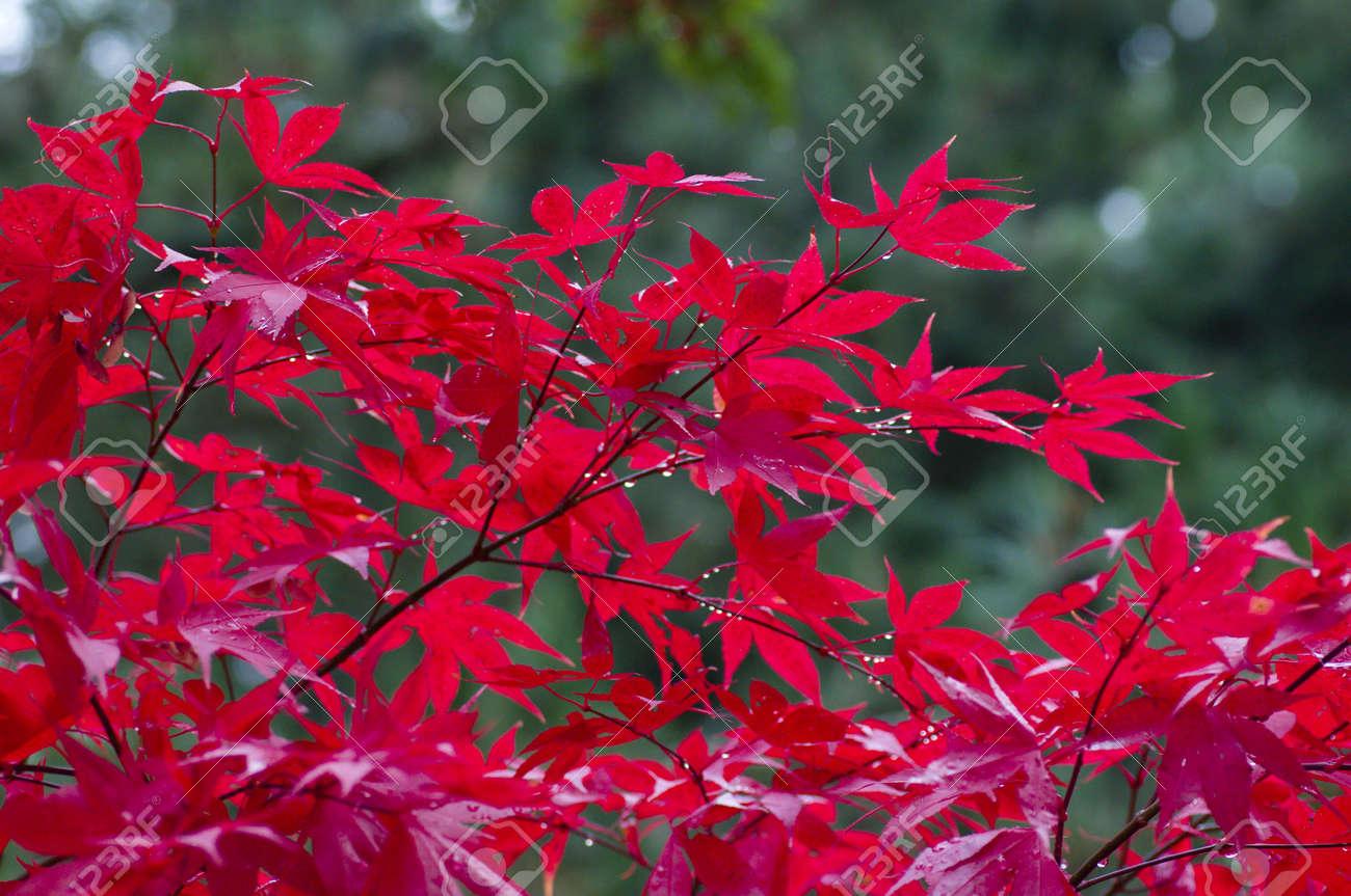 arbre rouge érable japonais en automne, parmi les feuilles vertes