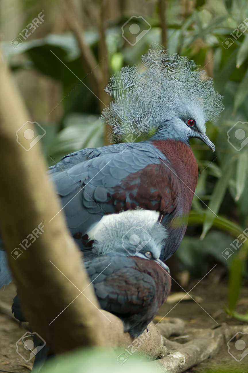 Young and adult crowned dove Stock Photo - 19066021
