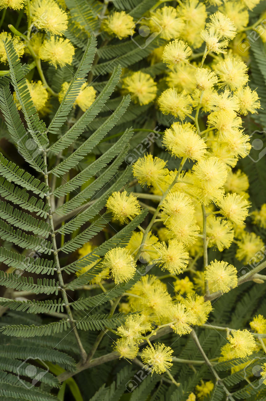 Flowers Of Wattle Plant Acacia Dealbata Stock Photo Picture And