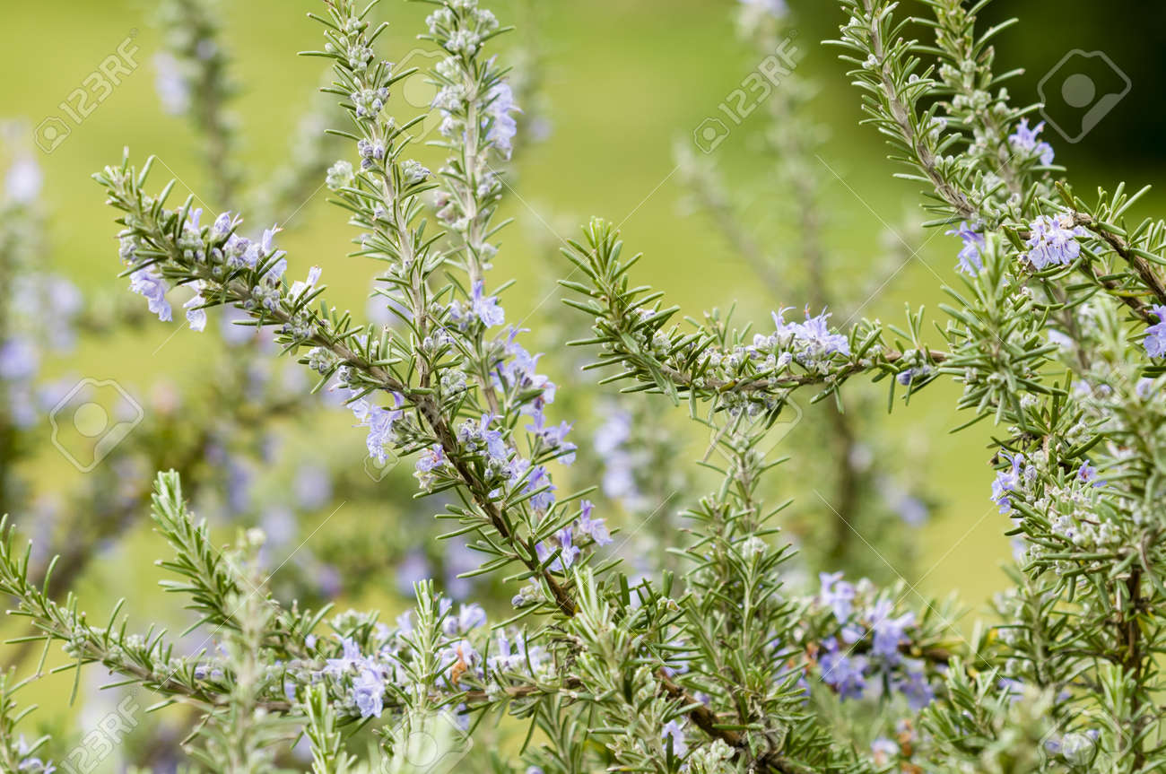 Plants Of Rosemary With Blue Flowers In Spring Stock Photo Picture