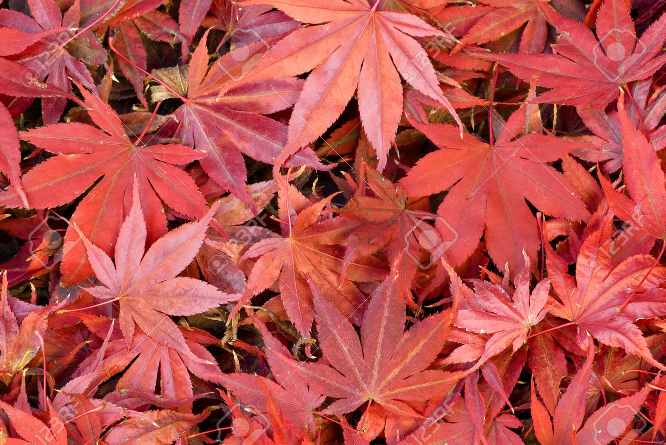 Red Maple Tree Leaves Fallen On Ground Stock Photo Picture And Royalty Free Image Image 19130187