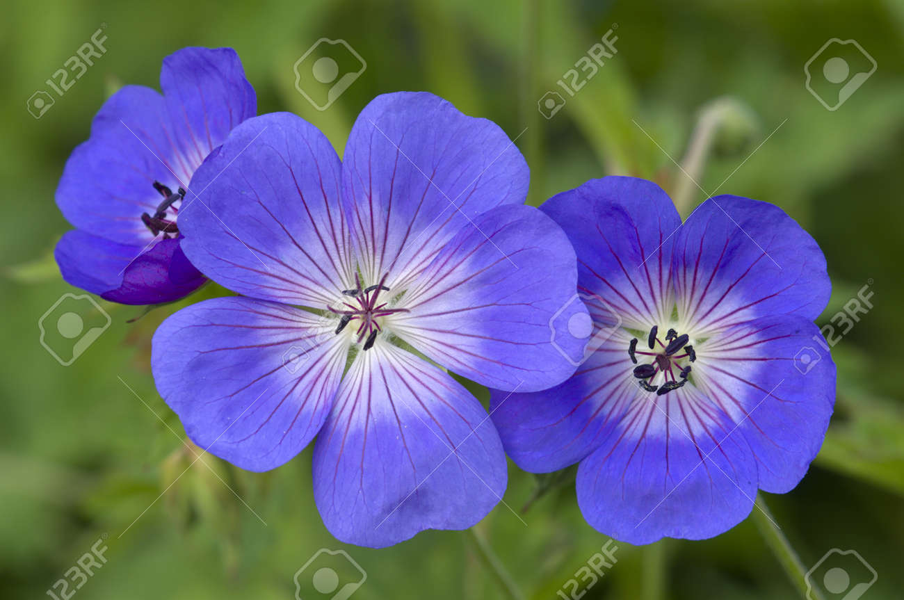 Blue and purple wild geranium flowers on green background stock blue and purple wild geranium flowers on green background izmirmasajfo Image collections
