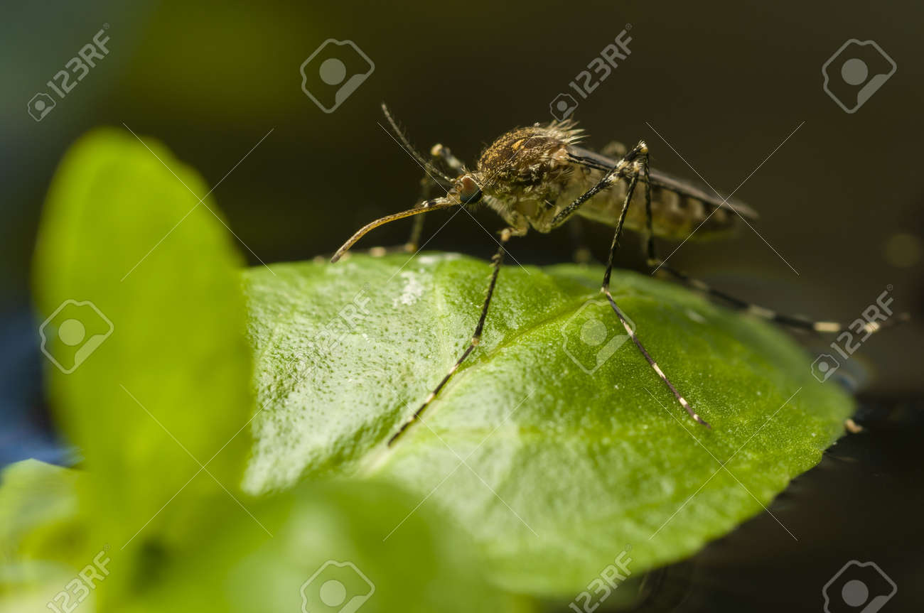 Korean mosquito, Aedes koreicus, accidentally introduced in Europe in 2008 Stock Photo - 19129102