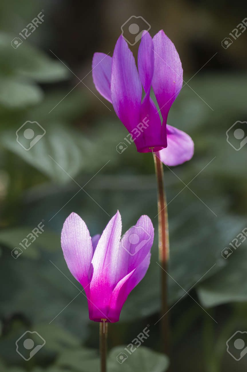 Pink Cyclamen flowers in sun backlight Stock Photo - 19129192