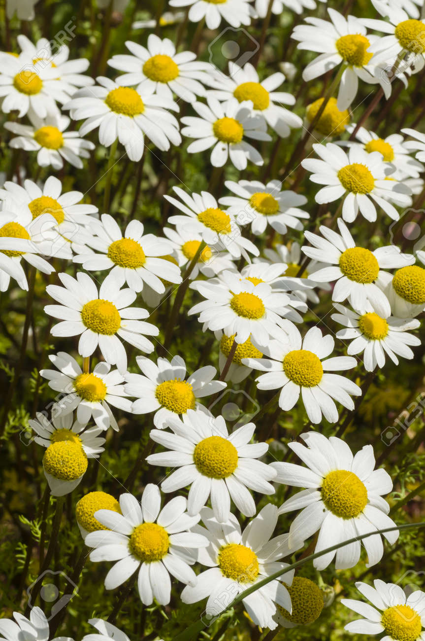 Chamomille flower field under the sun in Spring - 19129285