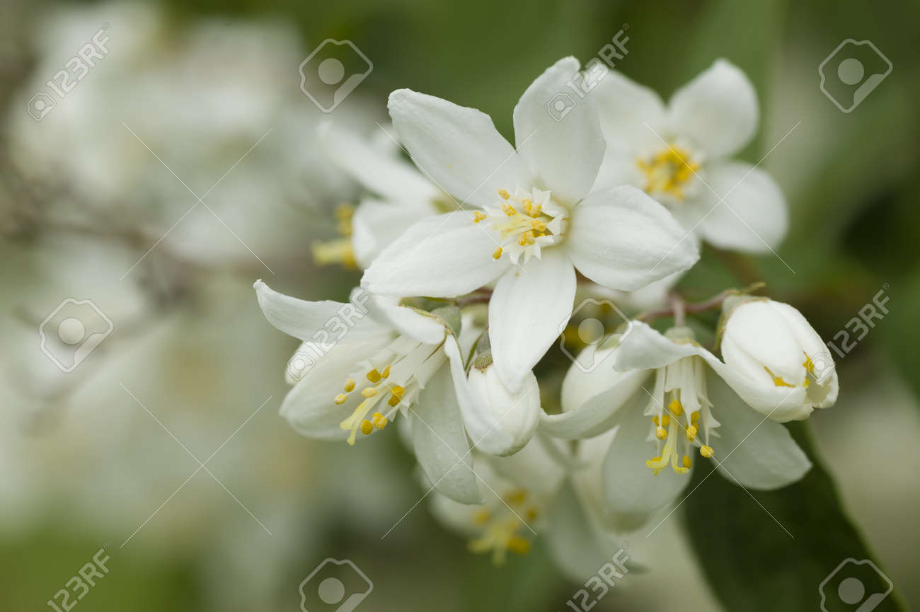 White Flowers With Yellow Pollen Stock Photo Picture And Royalty