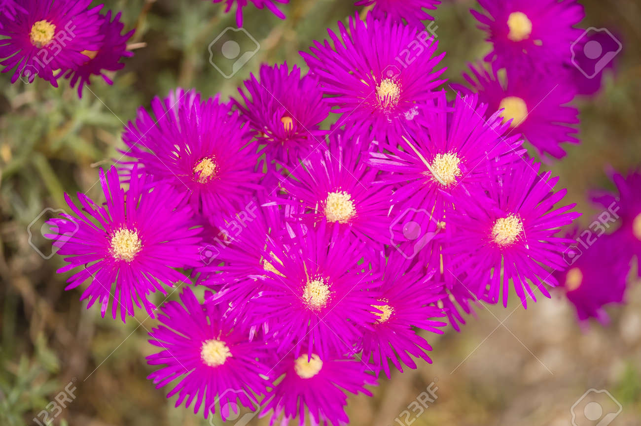 Pink Flowers With Yellow Stamens Of Succulent Plant Stock Photo