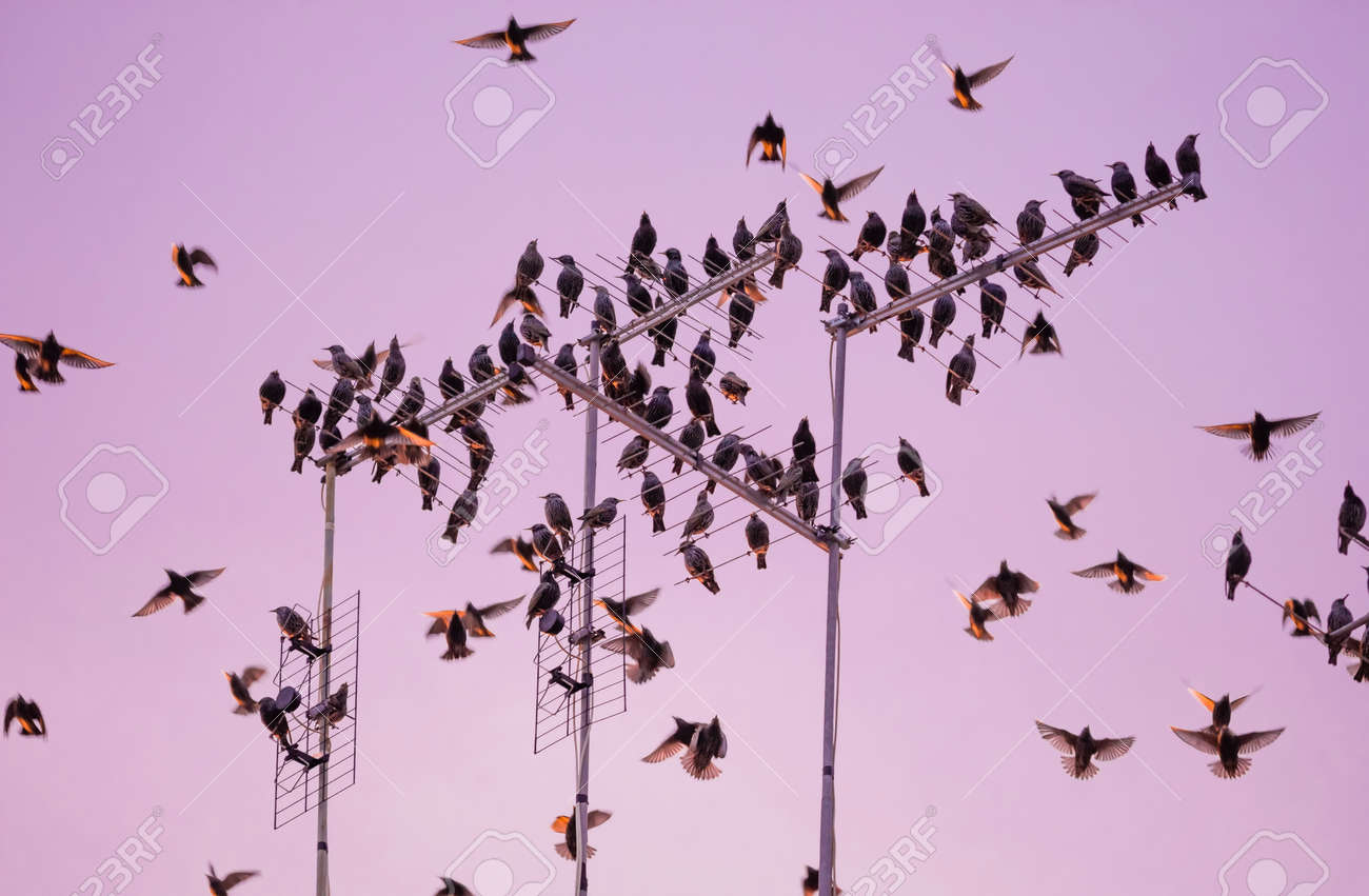 Starling Bird Flock Starling Bird Flock Flying And