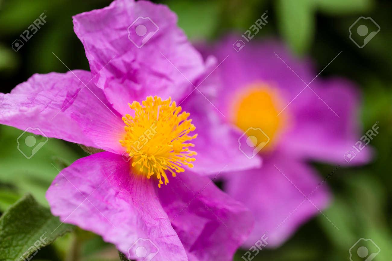 バラ ピンク色の花黄色の雌しべ...