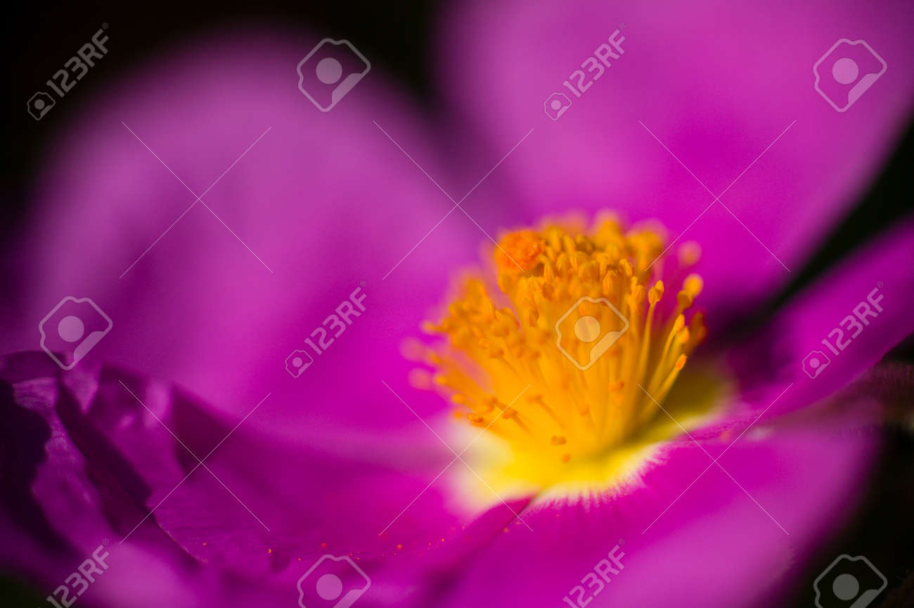 Rock rose purple flower detail with yellow stamen and pistils stock rock rose purple flower detail with yellow stamen and pistils stock photo 32622241 mightylinksfo