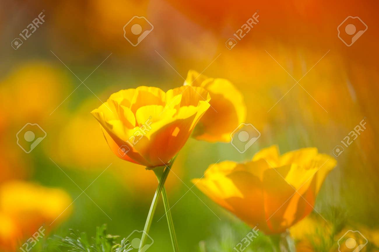 Eschscholzia Californica Yellow And Orange Poppy Wild Flowers