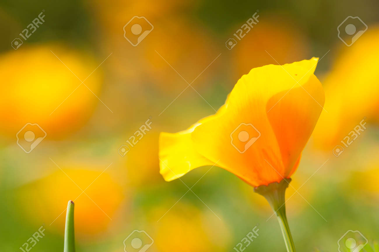 Eschscholzia Californica Yellow And Orange Poppy Wild Flowers