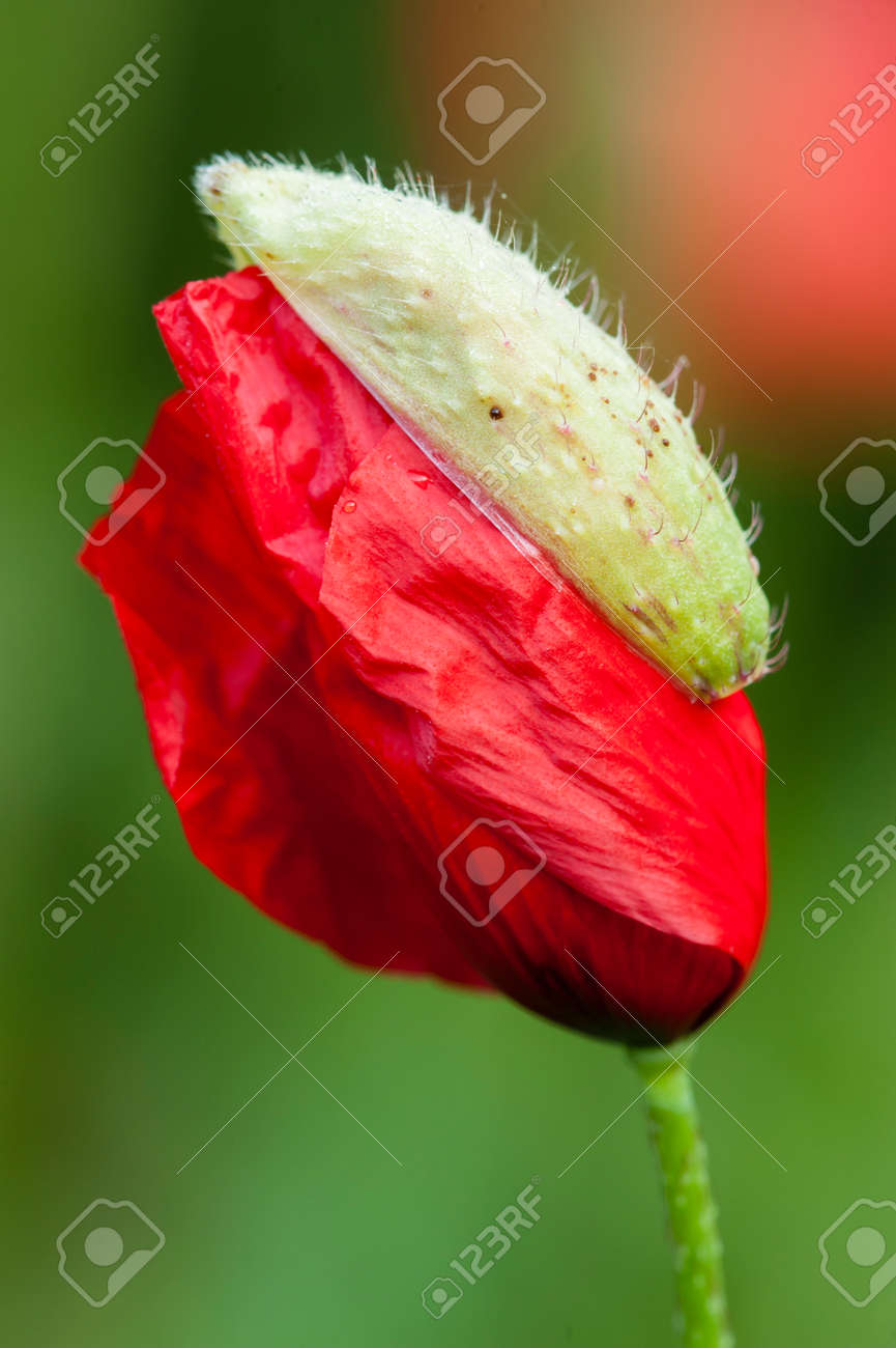 Red Poppy Flower Bud In Full Bloom Stock Photo Picture And Royalty