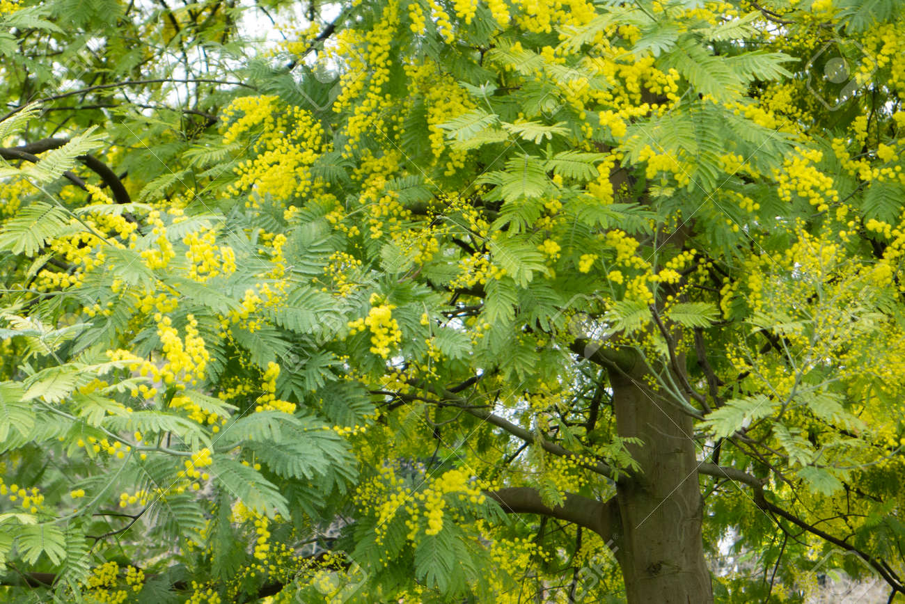 Mimosa Silver Blue Wattle Acacia Dealbata Tree With Yellow Stock