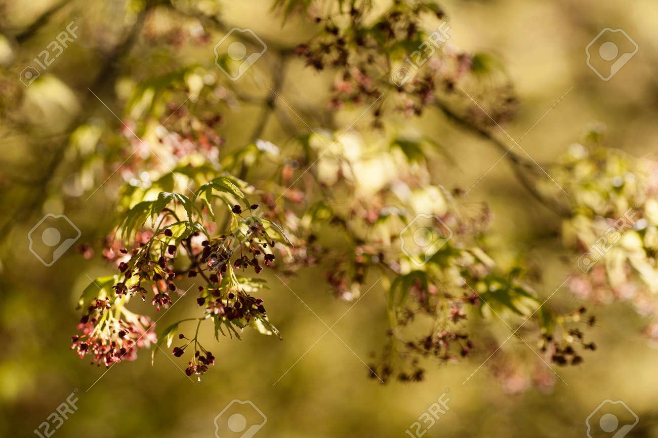 Arbre d\u0027érable avec des feuilles vertes et jaunes de printemps fleurs rouges,  Acer