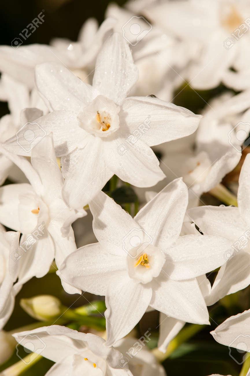 Narcissus tazetta paperwhite bunch flowered daffodil chinese narcissus tazetta paperwhite bunch flowered daffodil chinese sacred lily cream joss mightylinksfo