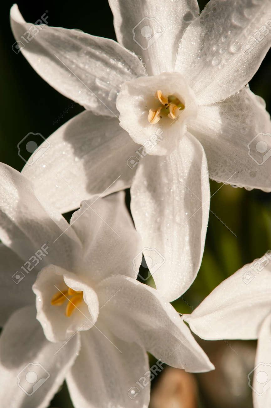 Narcissus tazetta paperwhite bunch flowered daffodil chinese narcissus tazetta paperwhite bunch flowered daffodil chinese sacred lily cream joss izmirmasajfo