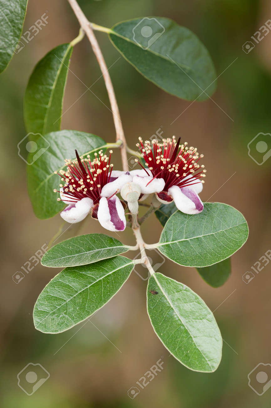 Flowers Of Acca Sellowiana Flowering Plant In The Myrtle Family