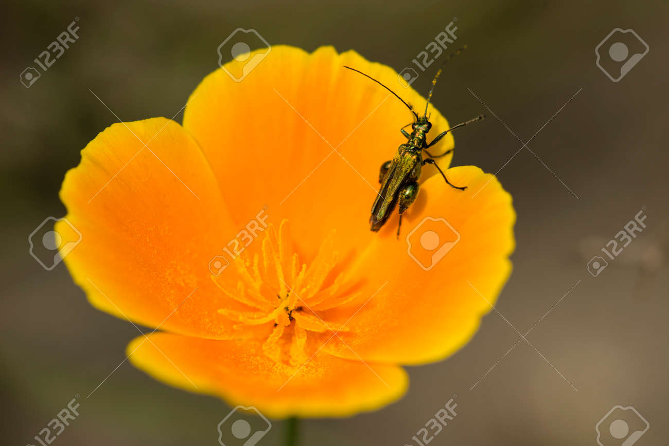 Emerald Coleopteron Insect On California Golden Poppy Flower Stock