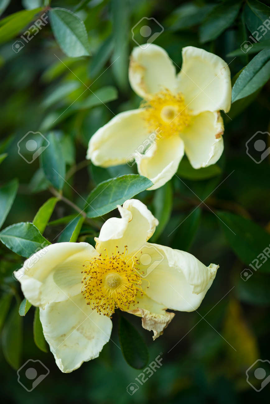 Close Up Of White And Yellow Withering Wild Rose Flowers Stock Photo