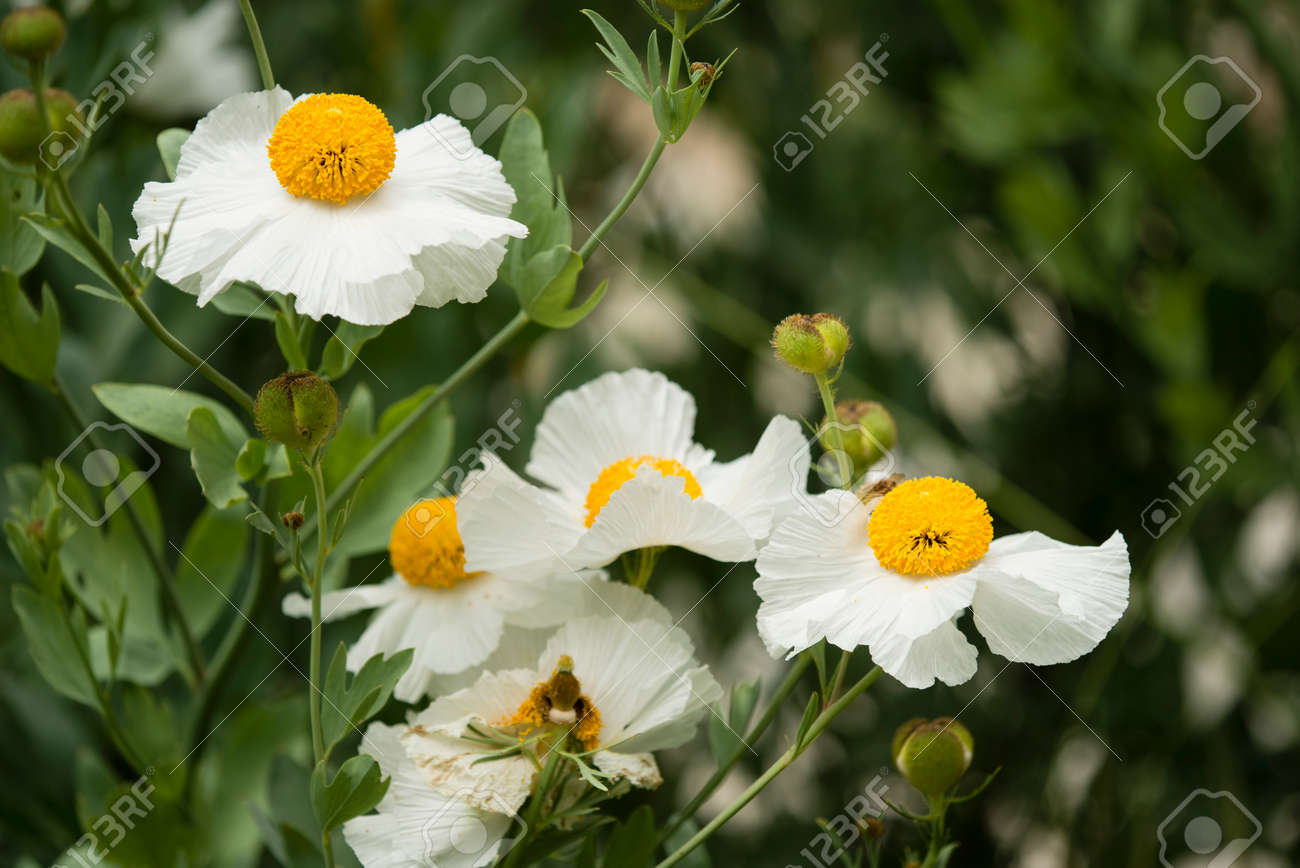 Details Of California Tree Poppy Flowers Romneya Coulteri