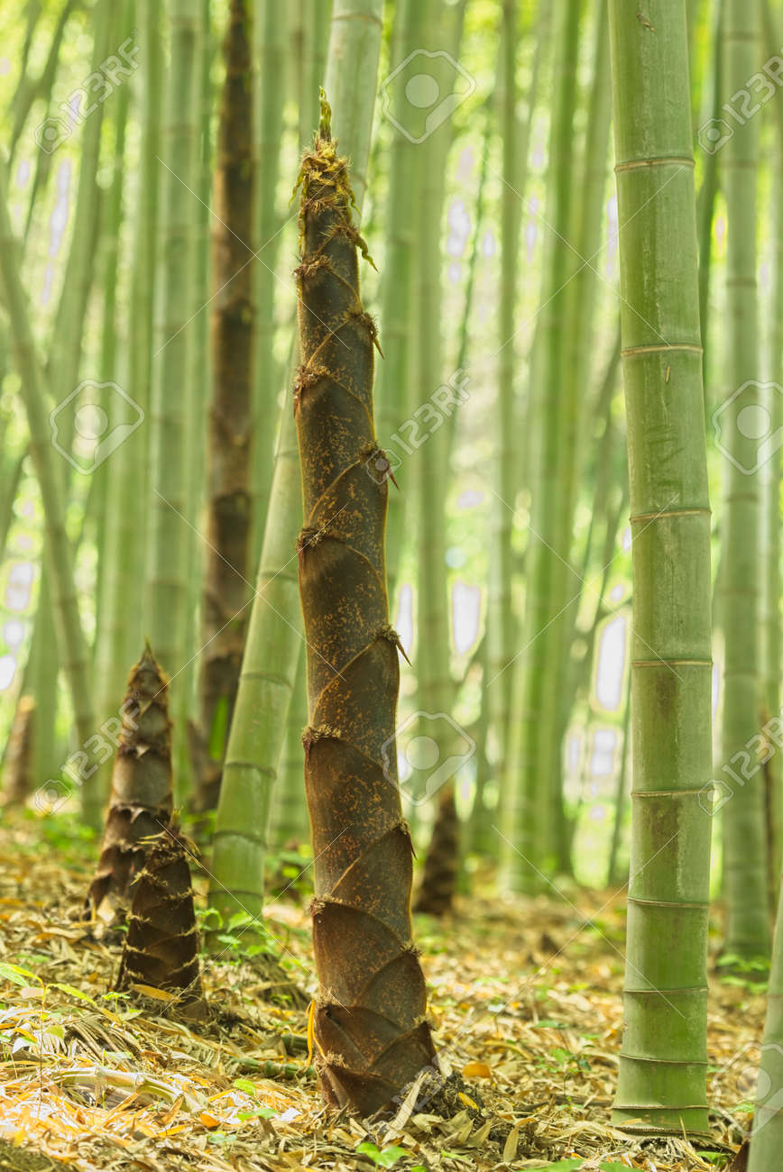 Brown Buds Of Bamboo Plants In A Forest Stock Photo Picture And