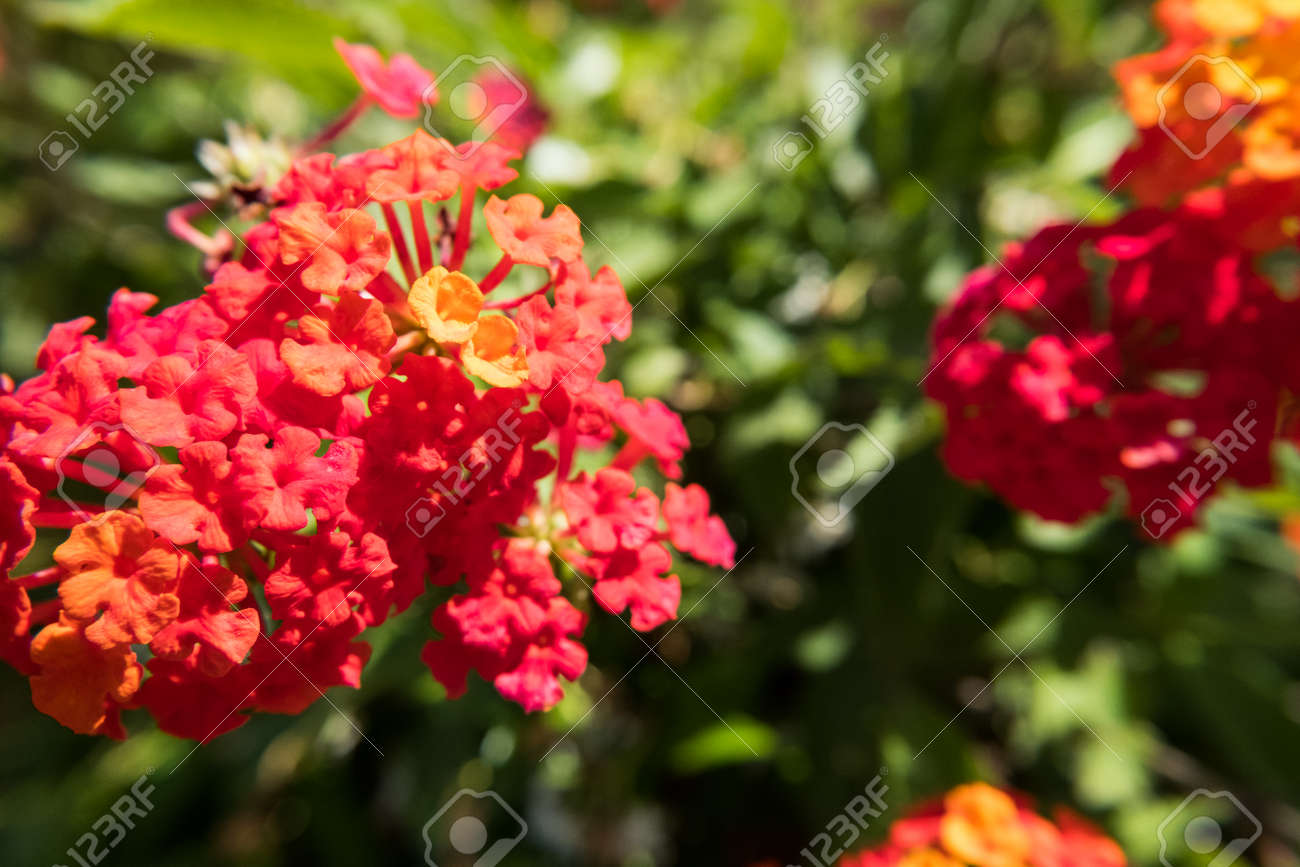 Nature Flower Wallpaper Background Red And Yellow Lantana Camara Also Known As Big Sage Wild Sage Hedge Flower Weeping Lantana Lantana Camara Linn