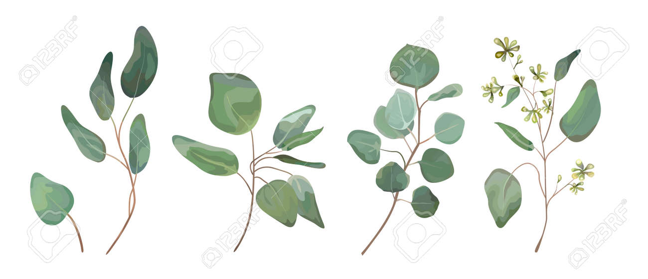 Eucalyptus seeded silver dollar tree leaves designer art, foliage, natural branches elements in watercolor rustic style set collection. Vector nature decorative various elegant illustration for design - 92712047