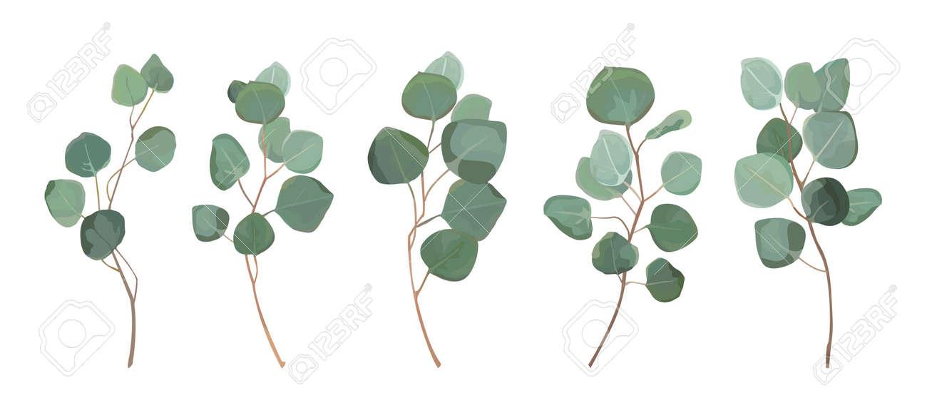 Eucalyptus silver dollar greenery, gum tree foliage natural leaves. - 92845343