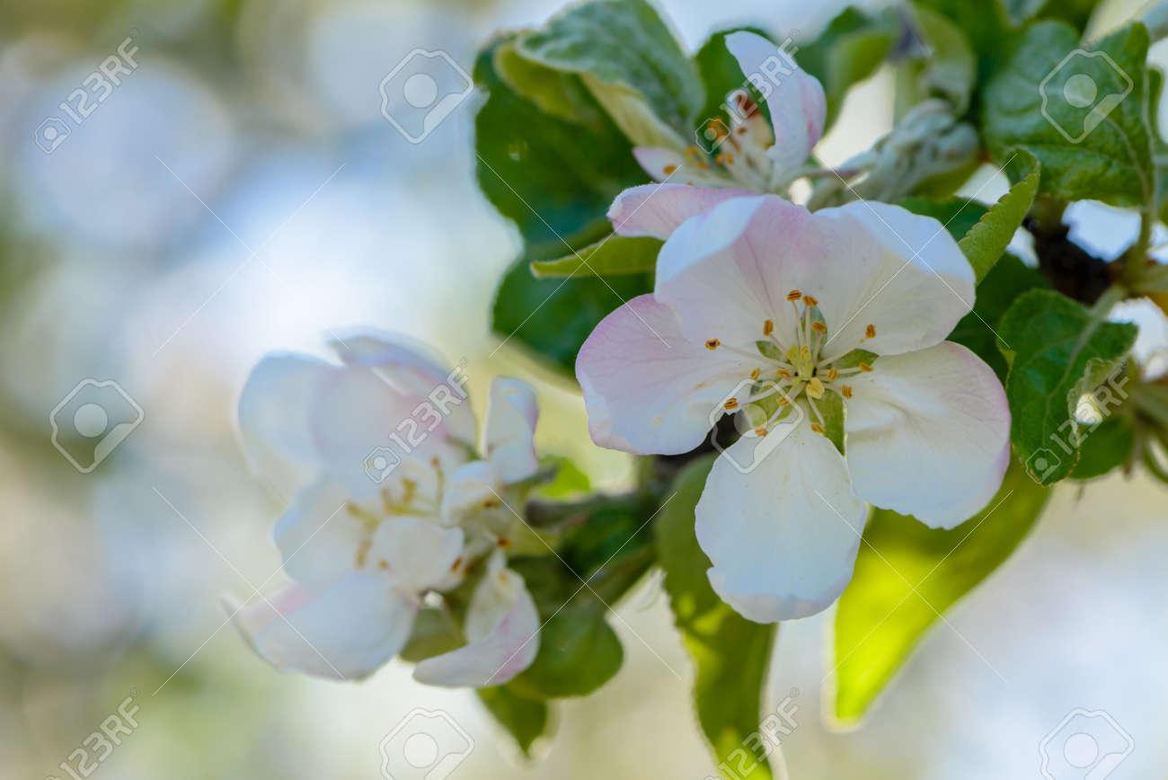 Albero Con Fiori Bianchi l'albero di mele fiorì con grandi fiori bianchi in primavera