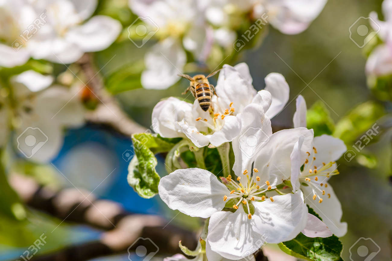 Bees Pollinate The Apple Tree Which Blooms In Large White Flowers