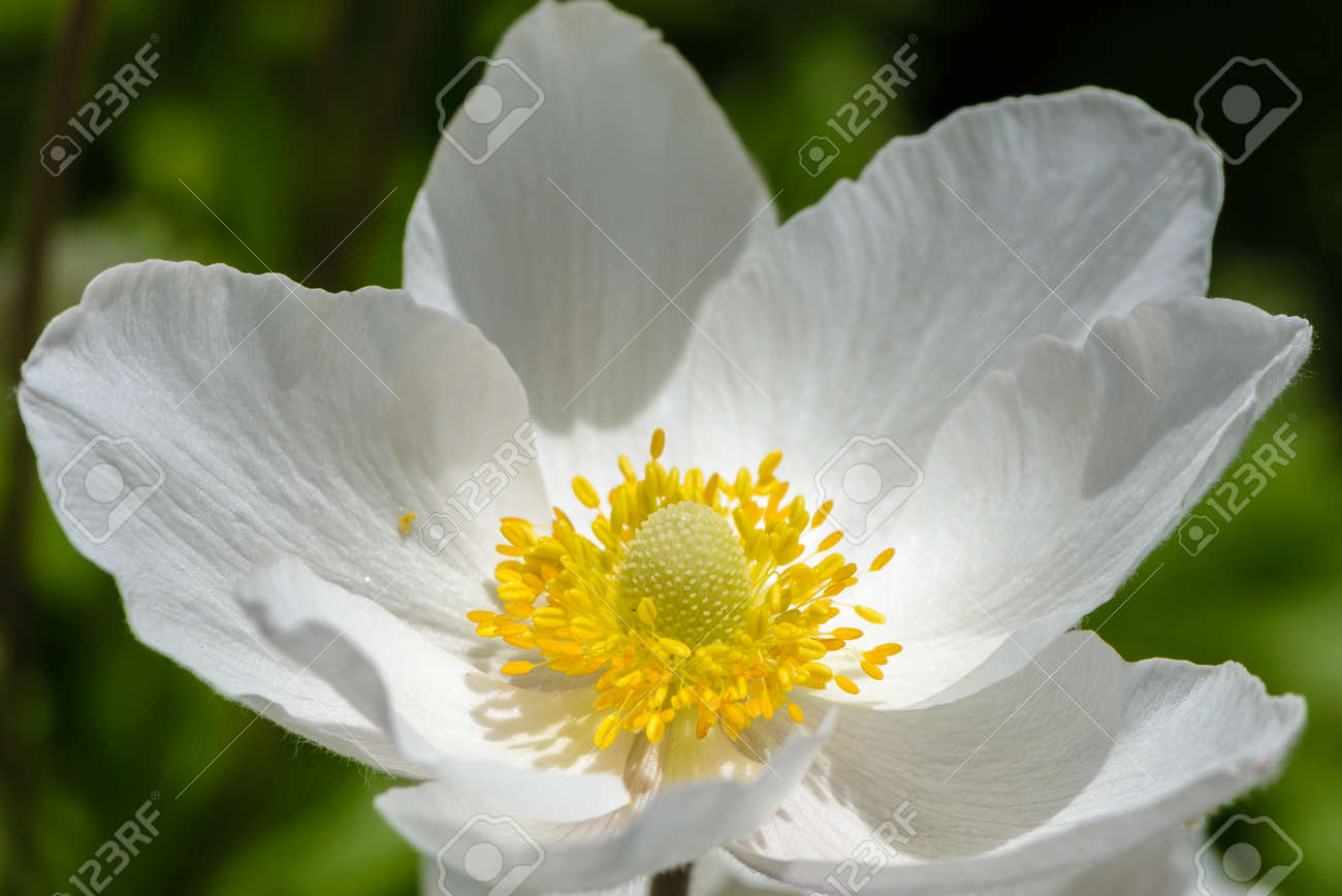 Snowdrop Anemone Blossom Its A Large White Flower With Yellow