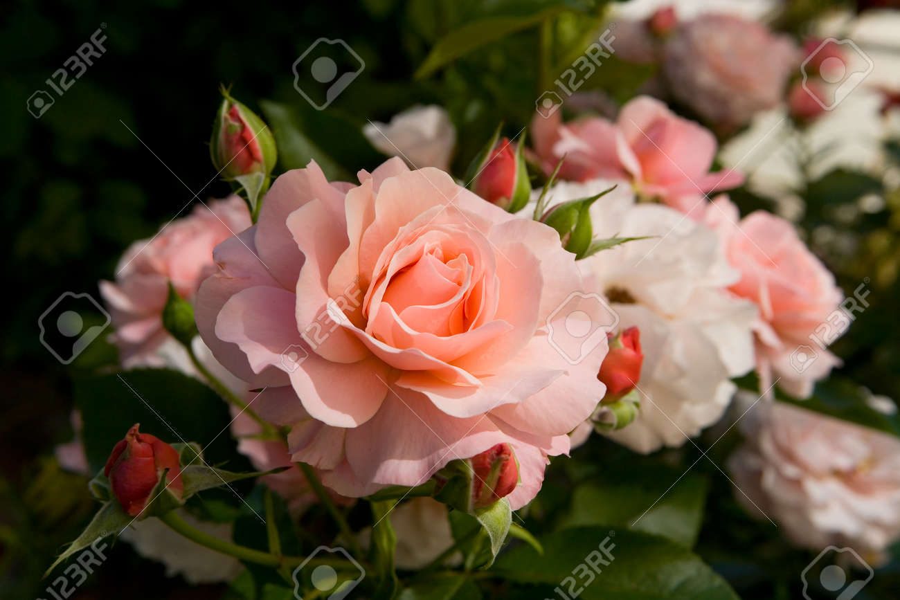 Blooming Rose With Delicate Petals Of Pink Color Flowers Stock